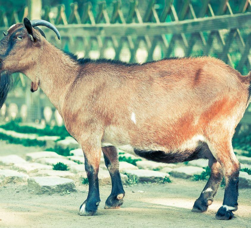 Goat (Chevon/Cabrito)